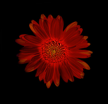 Gerbera flower colorfull abstract black background Stock Photo