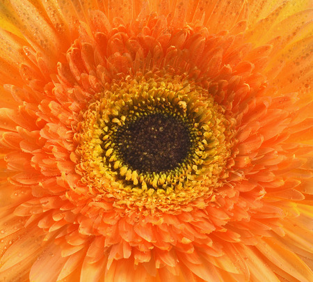 orange gerbera: Orange gerbera flower background