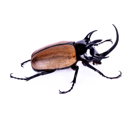horn beetle: Hercules beetle, Unicorn beetle, Horn beetle on white background
