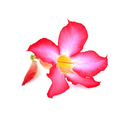 Azalea flowers fresh isolated on white background