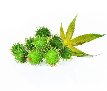 Castor leaf fresh isolated on white background Stock Photo