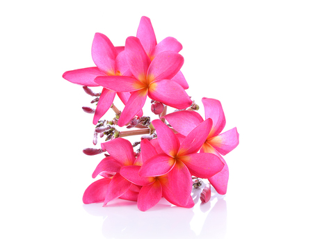plumeria on a white background: Red plumeria flowers isolRated on white background