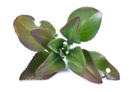 thousands: Bryophyllum daigremontianum, also called Mother of Thousands, Alligator Plant, or Mexican Hat Plant (Kalanchoe daigremontiana) Stock Photo