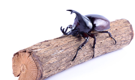 Rhinoceros beetle, Rhino beetle, Hercules beetle, Unicorn beetle, Horn beetle isolated