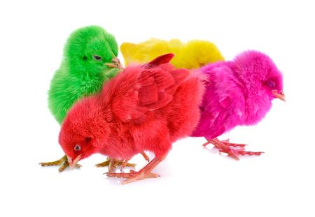 pollitos: Polluelos delante de fondo blanco.