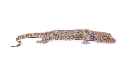 tokay gecko: gecko on  white background.