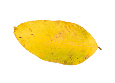 Yellow leaf isolated on a white background.