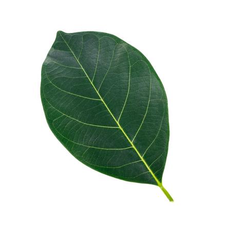 leaf of jackfruit green isolated on white background.