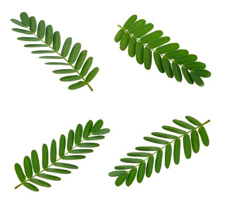 Tamarind leaf isolated on white Stock Photo