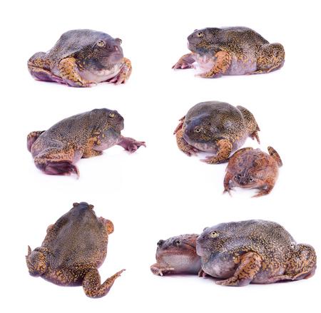species of bullfrog, probably Rana catesbeiana