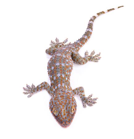 gecko isolated on white background Stock Photo