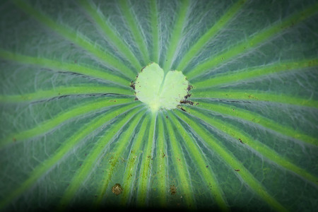 lotus leaves background Stock Photo