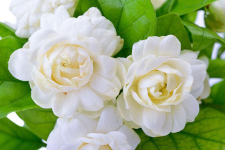 Sfondo di fiori di gelsomino.