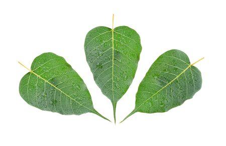 Bo leaf green isolated on white background Stok Fotoğraf