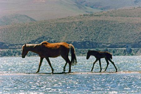 sandbar: Horses: Mare and foal walking by the sandbar on the lake