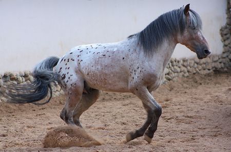 Gray horse running on an arena Stock Photo - 7669042
