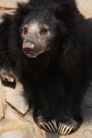 faultier: Sloth Schwarzb�r sitzend auf einem Felsen