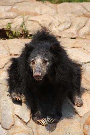 sloth: Oso perezoso de negro sentado sobre una roca