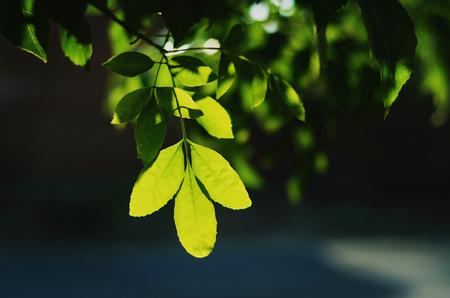 backlighting: Backlighting of leaves