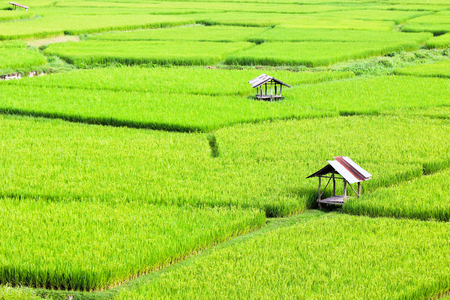 Natural Green of Paddy Field with Small Hut, Nan Province, Thailand