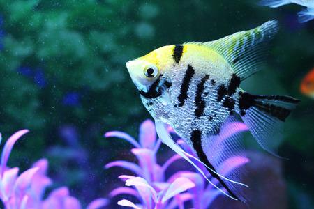 angelfish: Common Angelfish