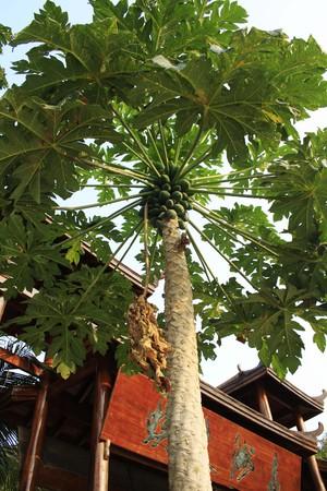 asian house plants: Closeup of papaya tree