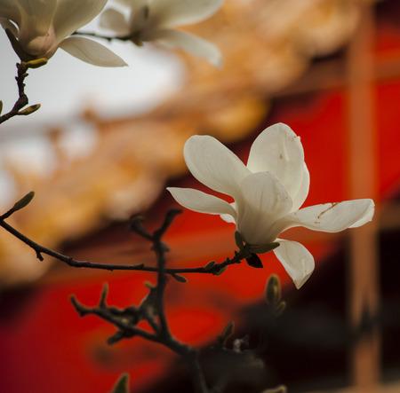 yulan flower  in imperial garden in the forbidden city