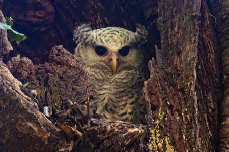 spot bellied eagle owl keeping a watch outside its nest