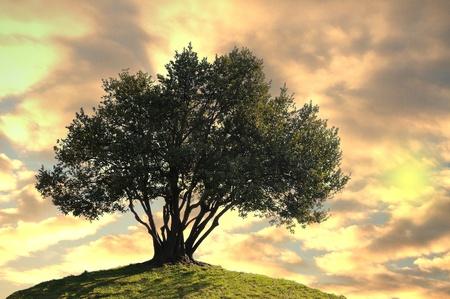 olivo arbol: Olivo en nubes en fondo sunset