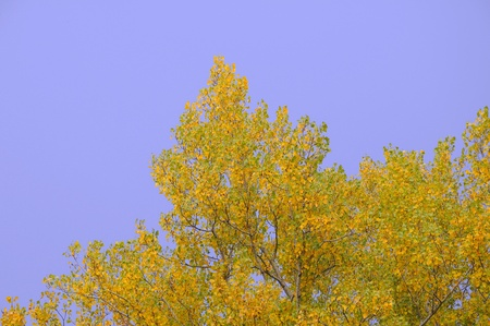 poplar: Poplar tree leaves in autumn Stock Photo