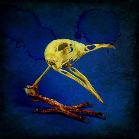mutation: Skull of bird on single paw. Idea of genetic mutation.