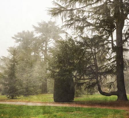 haze: Fir trees and haze
