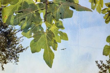 Fig tree leaves on blue sky background