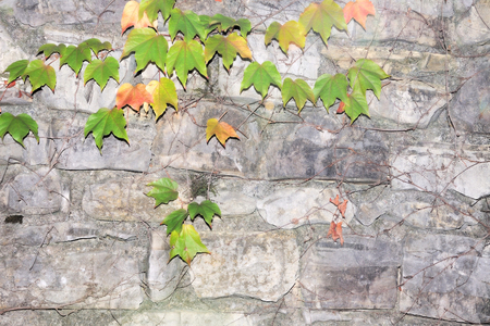 Ancient stone wall with ivy