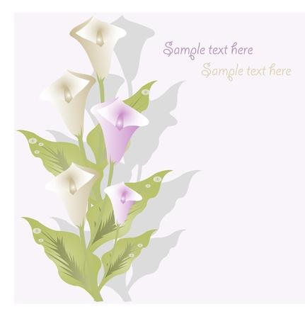 calas blancas: Ramo de calas blancas y lilas sobre un fondo blanco