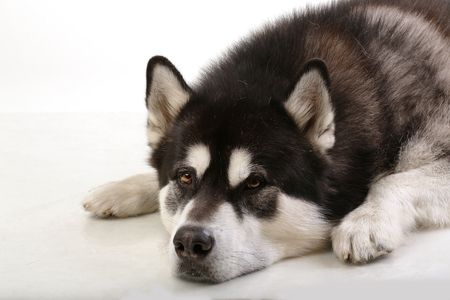 ugliness: Portrait of a dog. The Alaskan Malamute lying on a white background. Stock Photo