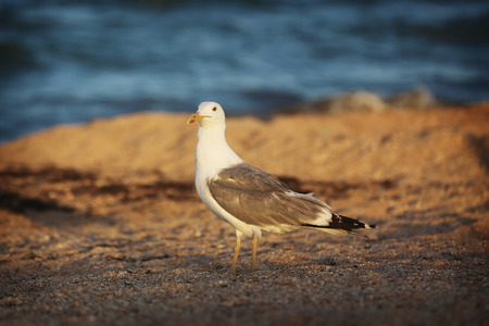 Seagull on the beach. Bird walks in the sand. Stock Photo