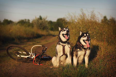 dog sled: Dog sled. Two Malamute in harness with the bike.