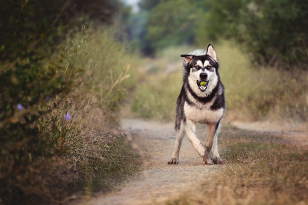 romp: The dog runs along the path in the woods. The Alaskan Malamute holds a green Apple in his mouth.