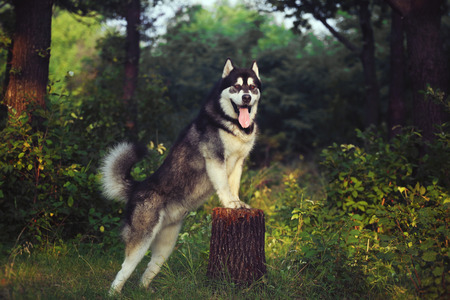 doggy position: A dog on its hind legs. The Alaskan Malamute is front paws on the stump.