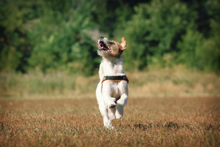 seize: Dog breed Jack Russell Terrier running on green grass fun.