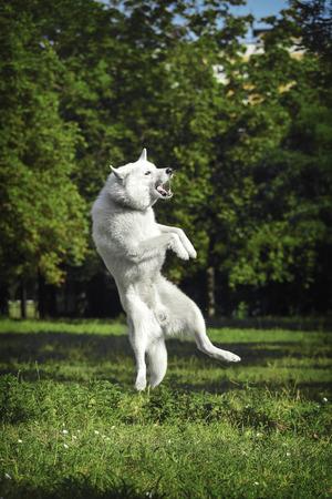 White dog in flight.