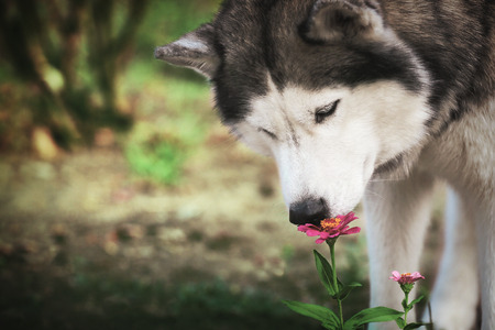 A dog and a flower. Siberian husky sniffing a red flower.