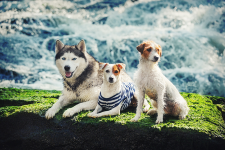 Jack Russell Terrier sitting and lying on rocks near the water. Portrait of three dogs on a rock.