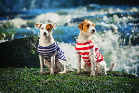 perros graciosos: Dos perros en ropa divertida. Retrato de raza de perro pastor del Russell Terrier. Foto de archivo