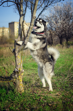 The dog stands on its hind legs.