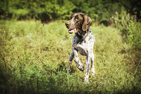 Dog breed pointers. The dog is beautiful.