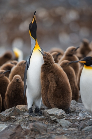 penguin colony: King penguin with a chick, Antarctica