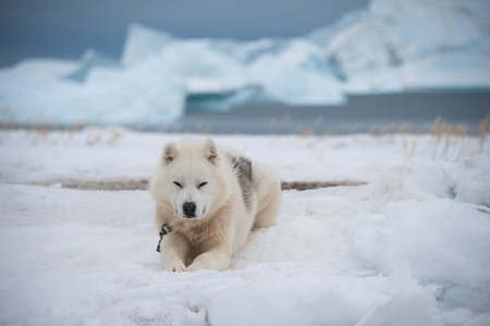 Greenland dog in Qeqertarsuaq, Greenland Imagens