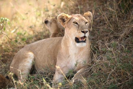 Female lion in Serengeti National Park, Tanzania